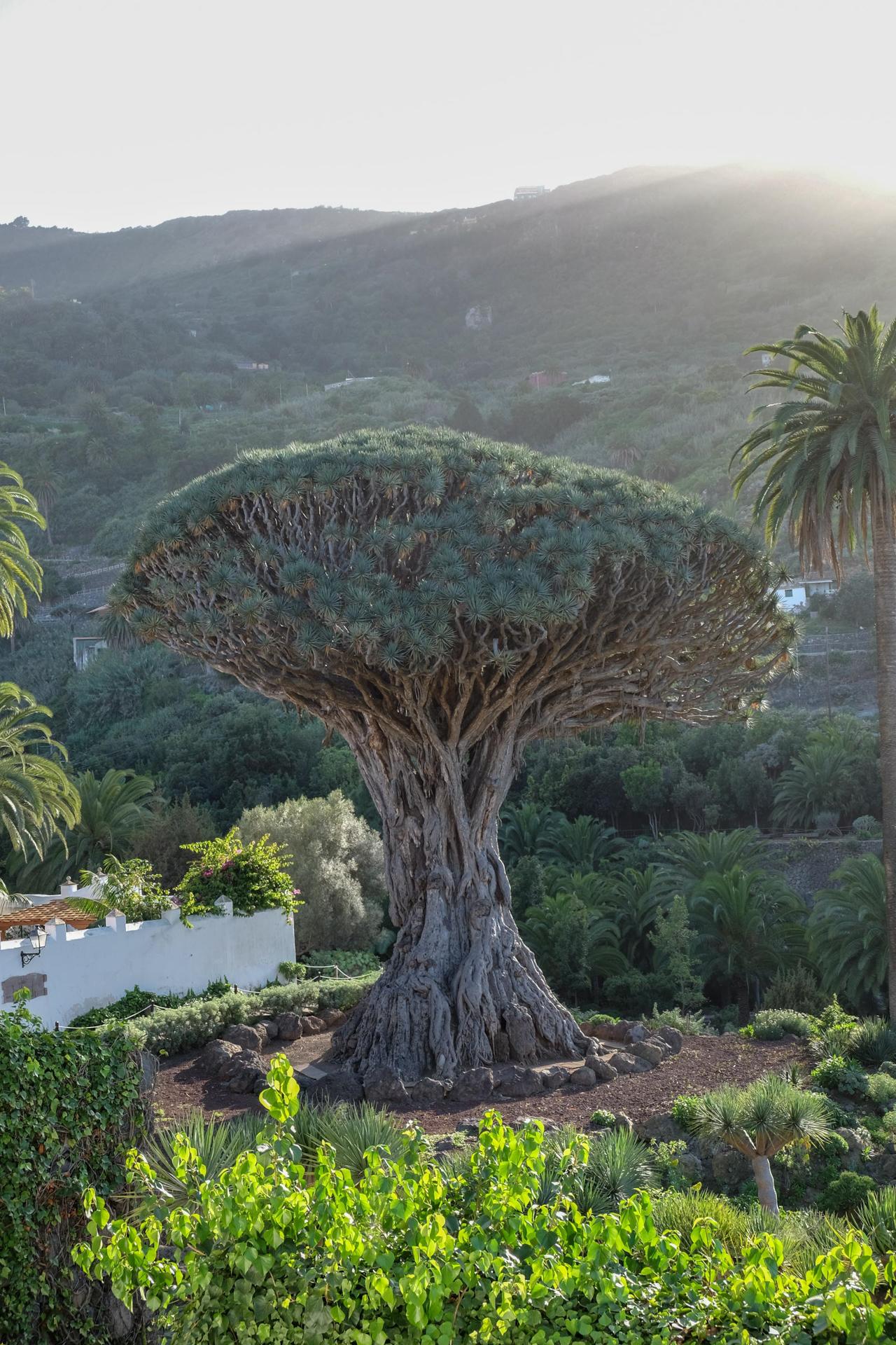 Dračinec, nejstarší strom na ostrově